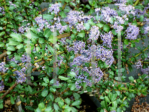 Picture of Ceanothus x 'Blue Jeans'