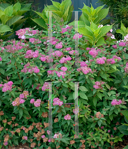 Picture of Spiraea japonica 'Galen (Double Play® Artisan®)'