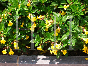Picture of Allamanda schottii
