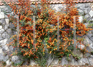 Picture of Pyracantha coccinea