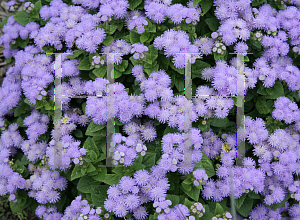 Picture of Ageratum houstonianum 'Hawaii Blue'