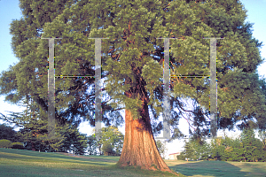 Picture of Sequoiadendron giganteum