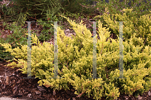 Picture of Juniperus horizontalis 'Hegedus (Good Vibrations® Gold)'