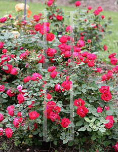 Picture of Rosa  'Meipeporia (Osos Easy® Double Red)'