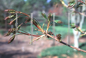 Picture of Acer platanoides x truncatum 'Keithsform (Norwegian Sunset®)'