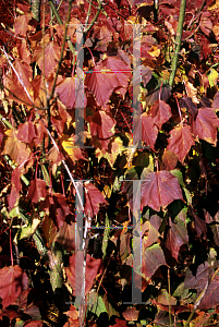 Picture of Acer capillipes