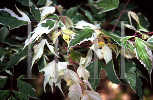 Picture of Acer negundo 'Flamingo'