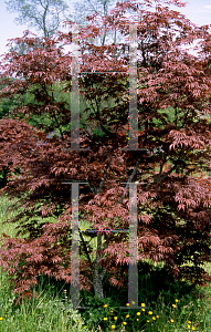 Picture of Acer palmatum (Matsumurae Group) 'Burgundy Lace'