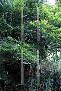 Horticopia Acer Palmatumlinearilobum Group Atrolineare