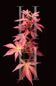 Picture of Acer palmatum (Matsumurae Group) 'Orion'