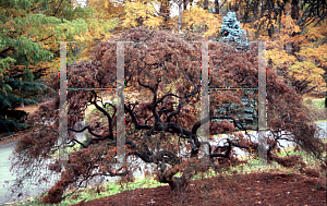 Picture of Acer palmatum (Dissectum Group) 'Ornatum'