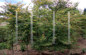 Picture of Acer palmatum(Linearilobum Group) 'Scolopendrifolium'