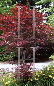 Picture of Acer palmatum 'Attraction (Atropurpureum Superbum)'