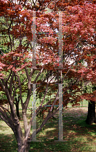 Picture of Acer palmatum 'The Bishop'