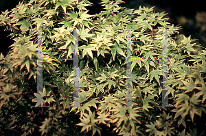 Picture of Acer palmatum 'Tokyo yatsubusa'