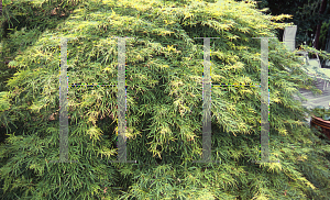 Picture of Acer palmatum (Dissectum Group) 'Waterfall'