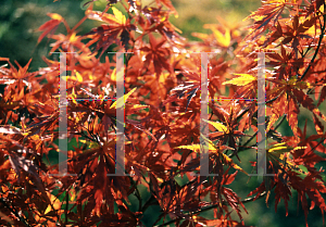 Picture of Acer palmatum (Matsumurae Group) 'Wou nishiki'