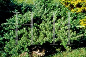 Picture of Abies koreana 'Prostrate Beauty'