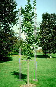 Picture of Acer platanoides 'Cleveland'