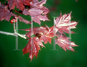 Picture of Acer platanoides 'Goldsworth Purple'
