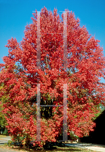 Picture of Acer rubrum