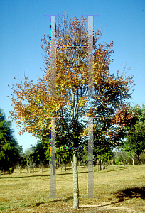 Picture of Acer rubrum 'Gerling'