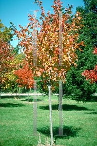 Picture of Acer rubrum 'Northwood®'