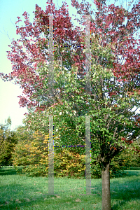 Picture of Acer rubrum 'Tilford'