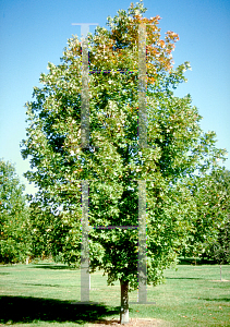Picture of Acer saccharum 'Legacy'