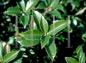 Picture of Osmanthus heterophyllus