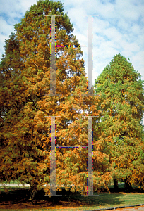 Picture of Taxodium distichum