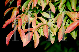 Picture of Acer triflorum