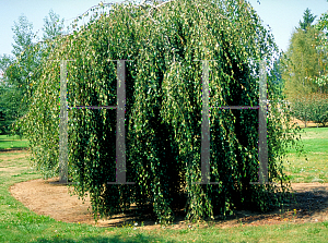 Picture of Betula pendula 'Youngii'