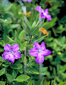 Picture of Ruellia caroliniensis