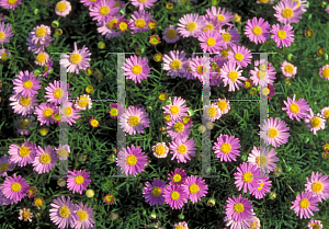 Picture of Aster spp.