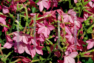 Picture of Nicotiana alata 'Nikki Rose'