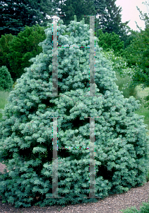 Picture of Abies concolor 'Compacta'