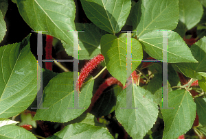 Picture of Acalypha hispida