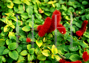 Picture of Acalypha pendula