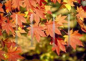 Picture of Acer japonicum