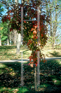 Picture of Acer maximowiczianum