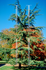 Picture of Cedrus libani