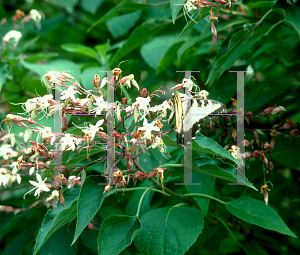 Picture of Clerodendrum trichotomum