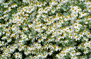 Picture of Boltonia asteroides 'Snowflake'