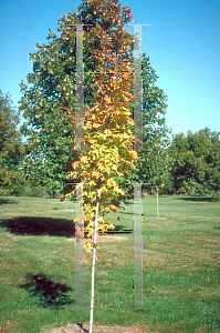 Picture of Acer saccharum 'Skybound'