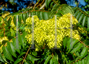 Picture of Ailanthus altissima