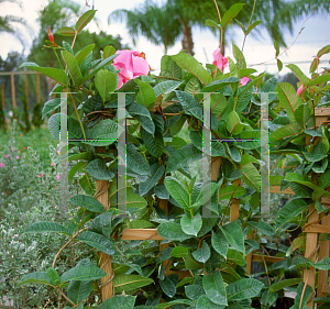 Picture of Allamanda blanchetii