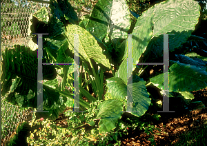 Picture of Alocasia spp.