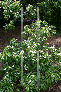 Picture of Cornus capitata emeiensis(ssp)