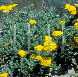 Picture of Achillea tomentosa